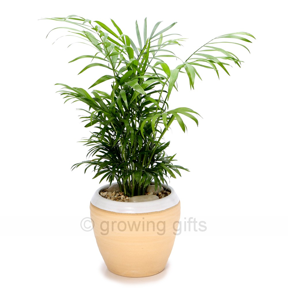 Indoor parlour palm urn for Low maintenance plants for office
