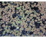 Azolla Rubra Azolla also known as mosquito fern duckweed fern fairy moss and water fern is a free floating aquatic fern with small waxy upper leaves It. Please Click the image for more information.