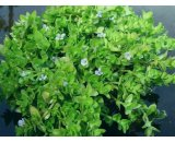 Bacopa Caroliniana  'Lemon Bacopa' or 'Water Hyssop' A great water plant for smaller ponds container water gardens or patios The leaves are succulent smell of lemon if crushed and are fairly thick Small da. Please Click the image for more information.