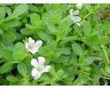 Bacopa Monniera or 'Hyssop' A native aquatic plant this water Hyssop is an excellent water plant for shallow or deep ponds It has dainty white flowers in Summer through to Autumn I. Please Click the image for more information.