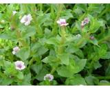 Gratiola Peruviana 'Austral Brooklime' Austral Brooklime is a prostrate native water plant with pale green foliage It has dainty pale pink flowers and is shade tolerant I. Please Click the image for more information.