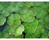 Marselia Mutica 'Nardoo' A gorgeous native water plant with attractive cloverlike leaves that float on the waters surface Green leaves with a striking rustic brown pattern A . Please Click the image for more information.