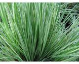 Acorus Gramineus Variegatus or Sweet Flag Acorus Gramineus Variegatus is a hardy pond plant with as the name suggests variegated silvery green leaves with creamywhite stripes Al. Please Click the image for more information.