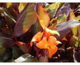 Canna Tropicanna Tropicanna has striking foliage  gives colour even when its not in flower  It has bright orange flowers which blaze from Summer to late Autumn  I. Please Click the image for more information.