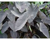 Colocasia Esculenta 'Black Magic' A widely grown tuberous water plant with beautiful large leaf stalks supporting heart shaped purpleblack leaves B. Please Click the image for more information.