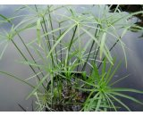 Cyperus Alternifolius 'Umbrella Grass' Cyperus Alternifolius or Umbrella Grass has graceful dark green umbrellalike heads This water plant will grow up to 1m in height  likes full sun or a moderately shaded position  It i. Please Click the image for more information.
