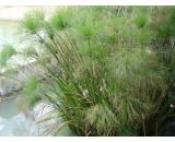 Cyperus Papyrus 'Egyptian Papyrus' Cyperus Papyrus is a tall sedge 15  24m of the ancient Egyptians It is a very popular plant  does well at the waters edge or in a boggy ground  Its l. Please Click the image for more information.