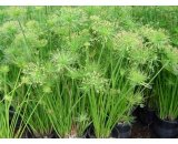 Cyperus Prolifer or 'Dwarf Papyrus' Dwarf Papyrus is an evergreen dwarf water plant with grasslike stems ending in tassel like blooms It grows up to 45cm in height W. Please Click the image for more information.