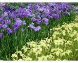 Iris Ensata Varieties 'Japanese Iris' A hardy water iris will grow up to 1m tall Very large flat ruffled blooms up to 15cm across Can be used as cut flower Gro. Please Click the image for more information.