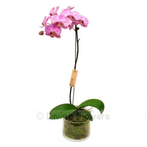Product Image for Orchid Plants (Phalaenopsis)