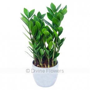 Product Image for House Plant (Zanzibar Gem)