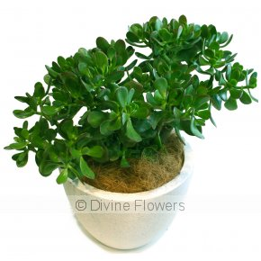 Product Image for Jade Crassula Ovata