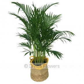 Product Image for Indoor Golden Cane Palm