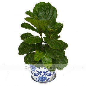 Product Image for Fiddle Leaf Fig In Blue & White Ceramic