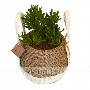 Product Image for Jade Plant In Basket