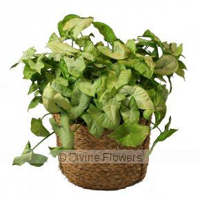 Product Image for White Butterfly (Syngonium)