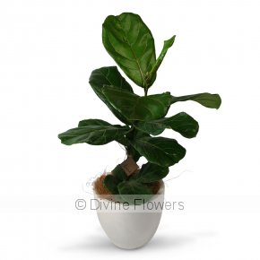 Product Image for Ficus Lyatra (Fiddle Leaf Fig)