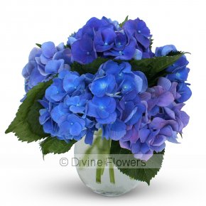 Product Image for Betty Blu (Hydrangea)
