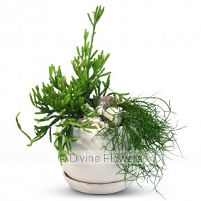 Product Image for Rhipsalis Planter